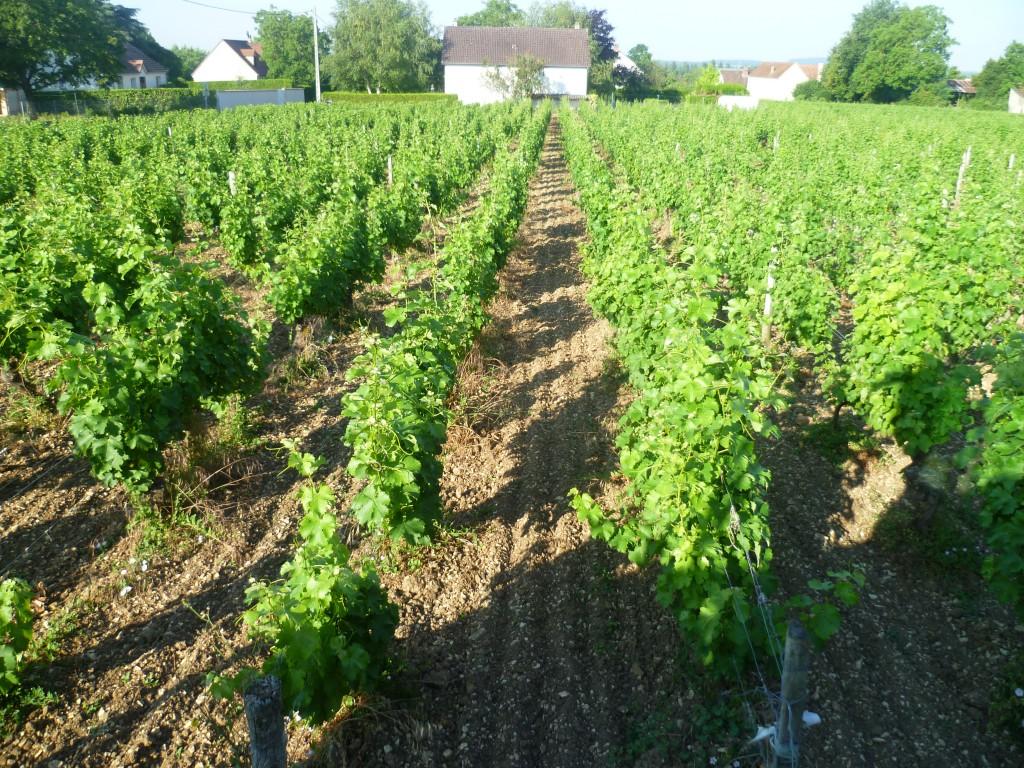 Vignes accolées en Pouilly-Fumé
